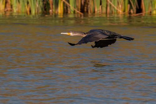 Great cormorant   by kulukaya