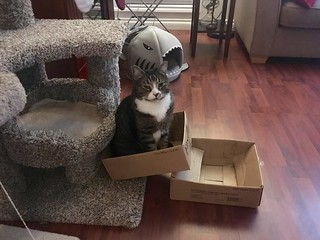 Watson in a box on the cat tree