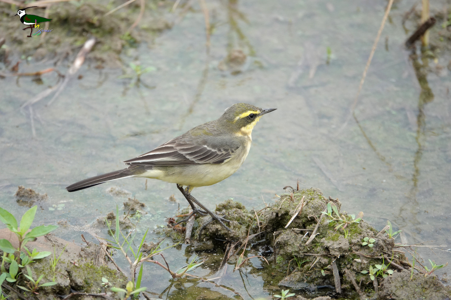 Yellow_Wagtail_Sony_02943