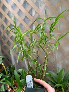 Dendrobium hancockii | by sduarte0317