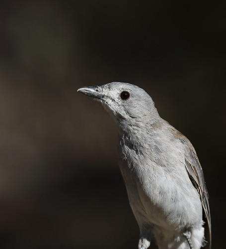 Grey-shrike Thrush_19-01-21_2