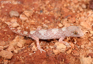 Gibber Gecko (Lucasium byrnei) | by Nick Gale