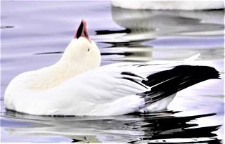 Beautiful goose! Zénitude!