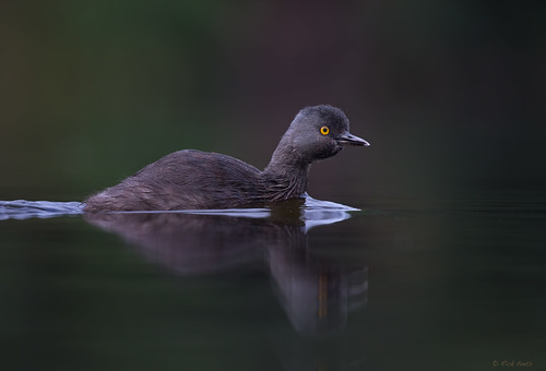 Least Grebe | by E_Rick1502