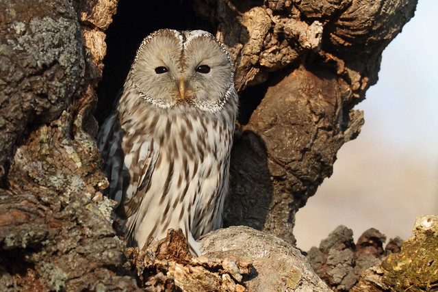 Ural Owl in the sunshine (Explored!)