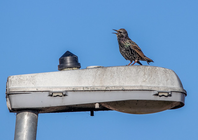 Starling on a lamppost