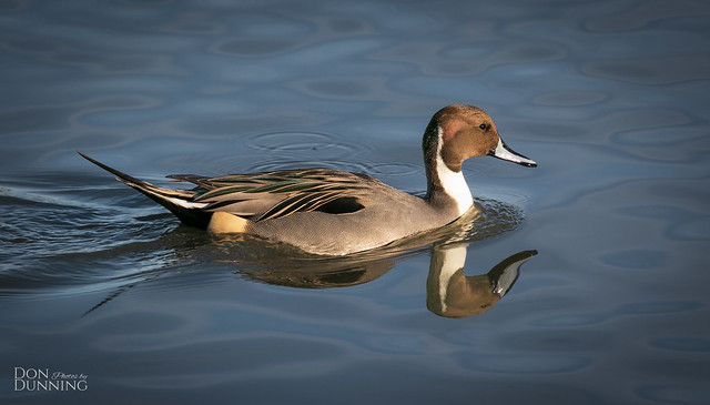 Northern Pintail Drake in Breeding Plumage (Anas acuta)