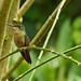Fawn-breasted Brilliant (Heliodoxa rubinoides).  Cabañas San Isidro's lodge.  Ecuador. by cbrozek21