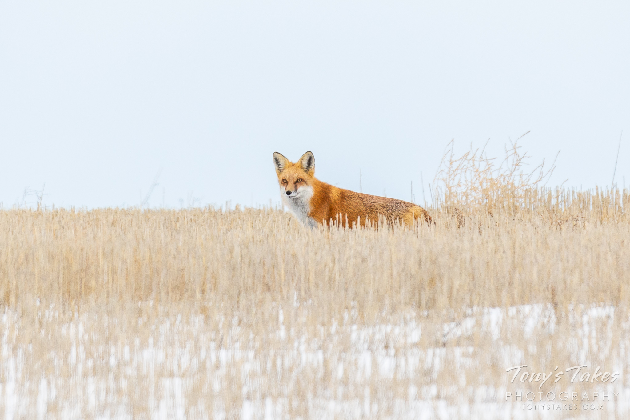 Watchful red fox on the plains of Colorado