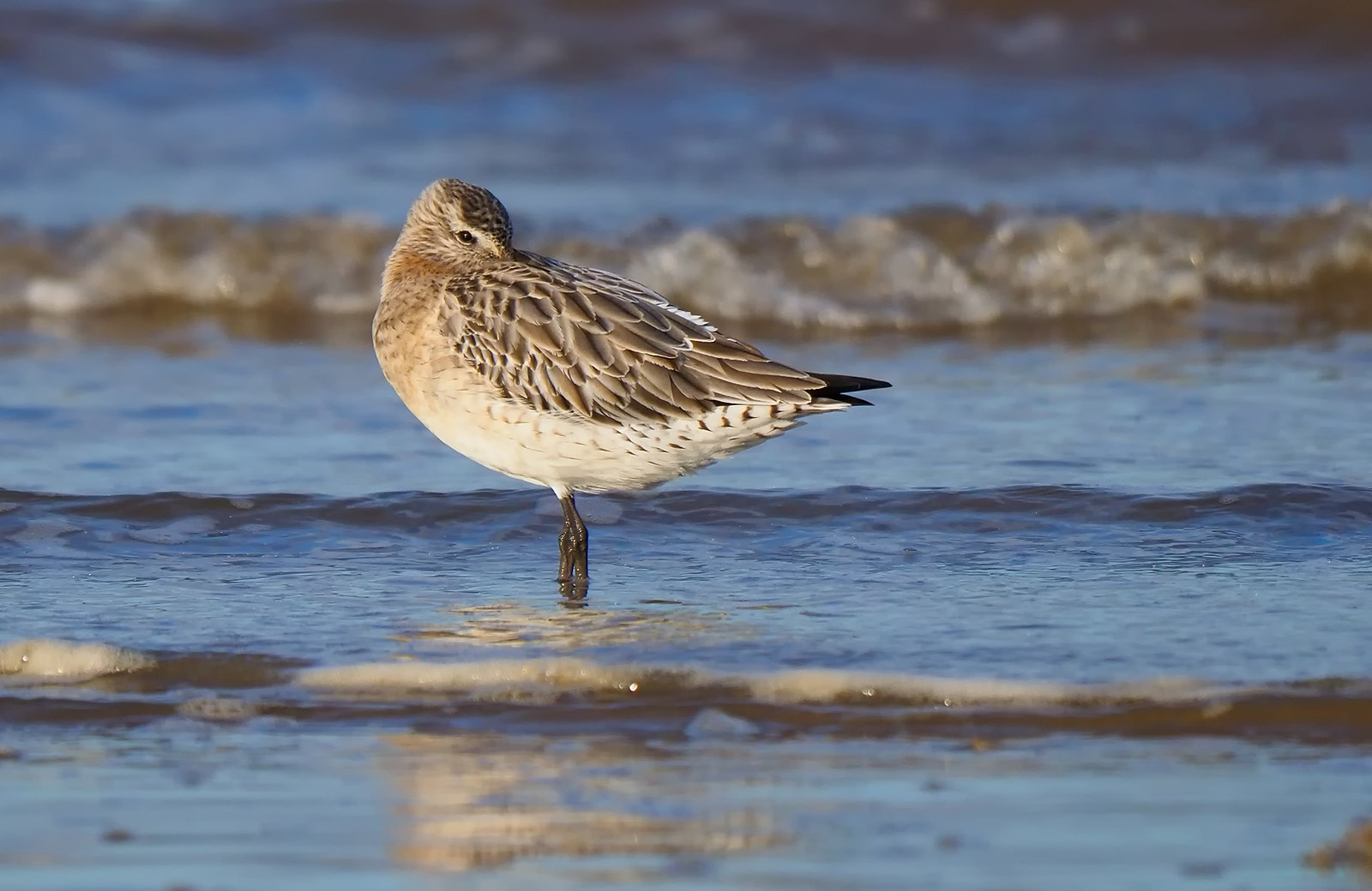 Bar-tailed Godwit - sleeping