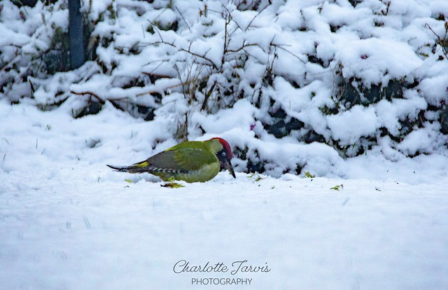 The European Green Woodpecker