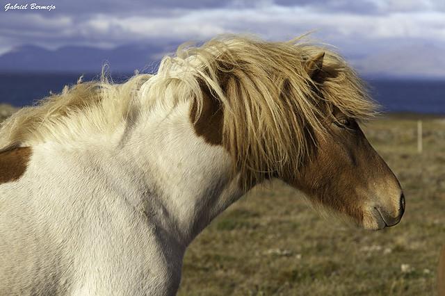 Perfil equino - Islandia