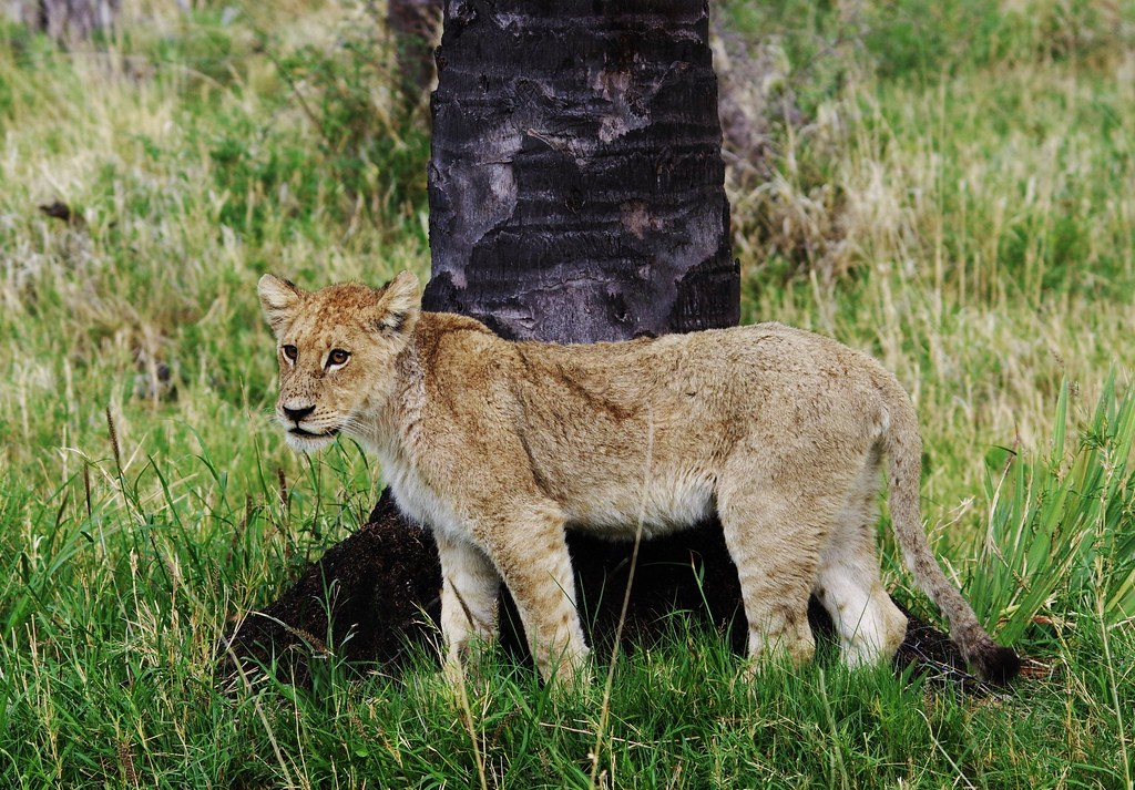 Lion Cub By Scratching Post (Tree)