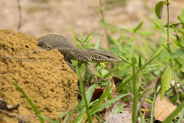 319A3402W Monitor - Varanus bengalensis juvenile Ratnapura sri lanka
