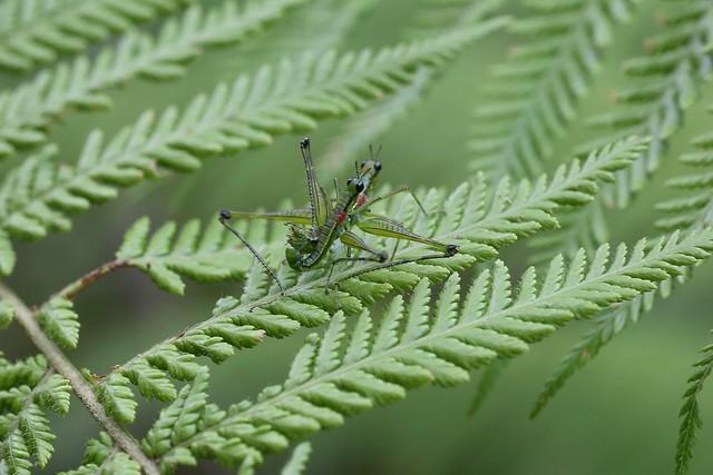 Beomastax equatoriana (Eumastacidae: Eumastacinae: Eumastacini)