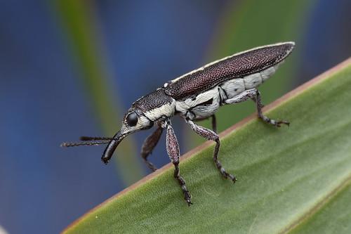Belid Weevil