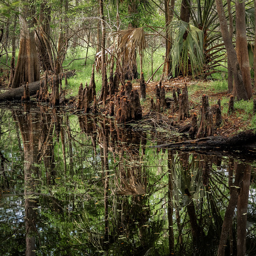 Black Bear Wilderness Area 5: Inside the cypress Swamp | by Ed Rosack