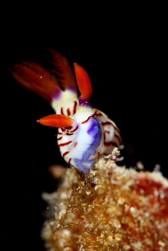 Nembrotha lineolata 寬紋多角海蛞蝓