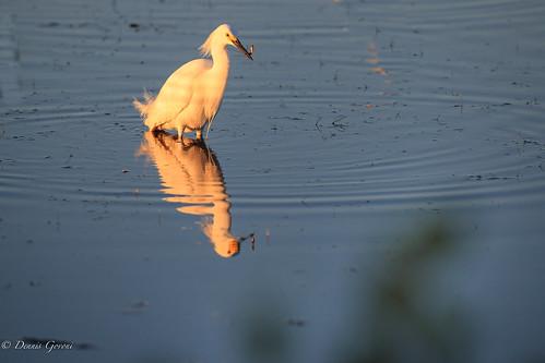 merrittisland action background bird egret florida snowyegret sunrise water wildlife winter unitedstates us