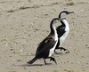 Black-faced Cormorant Phalacrocorax fuscescens by Neil Cheshire