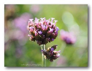 Verbena bonariensis | by natureflower photography