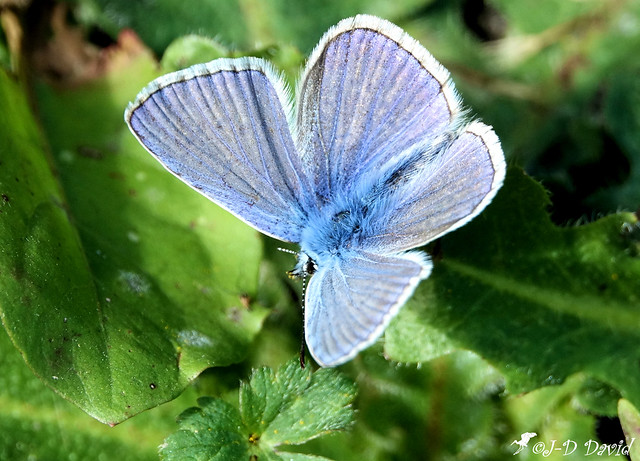 Azuré bleu céleste_06