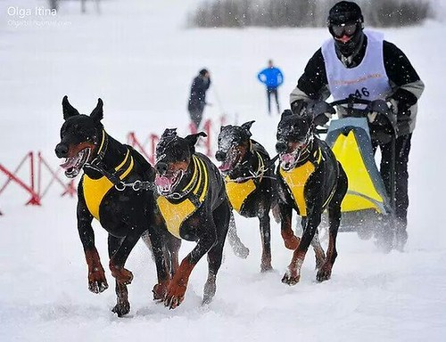 Bet Yer Dog Can T Do This Pic S Doberman Forum Doberman Breed Dog Forums