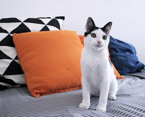 Morad, gatito blanco con toques negros muy juguetón esterilizado, nacido en Octubre´18, en adopción. Valencia. 33109629968_8f6934a10c