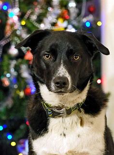 Border Collie at Christmas   by manxmaid2000