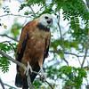 Black-collared Hawk by CedricBear
