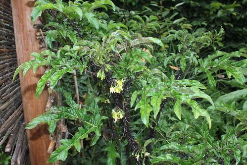 Solanum atropurpureum - diable pourpre 45817824634_1b238dc56a