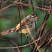 Flickr photo 'White-crowned Sparrow (Zonotrichia leucophrys)' by: Mary Keim.
