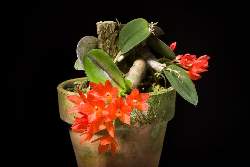 [Rio de Janeiro, Brazil] Cattleya cernua (Lindl.) Van den Berg, Neodiversity 5: 13 (2010)