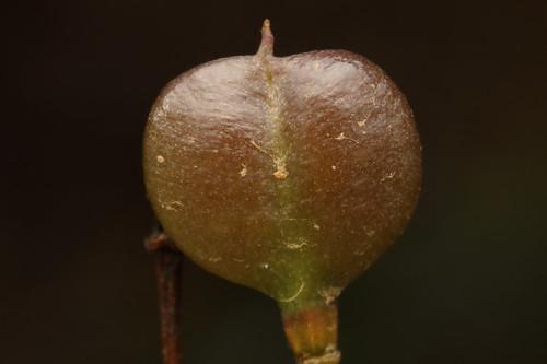 Sweet Bursaria seed pod