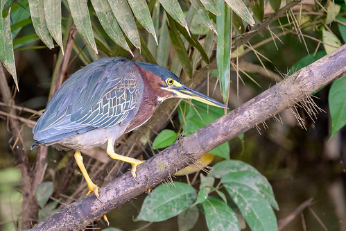 Green Heron | by Becky Matsubara