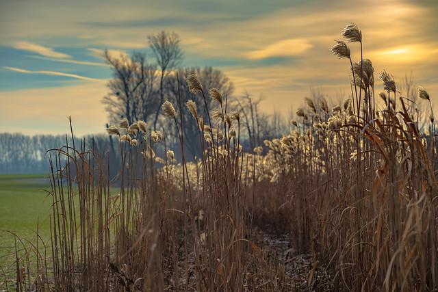 Silvergrass in winter morning sun