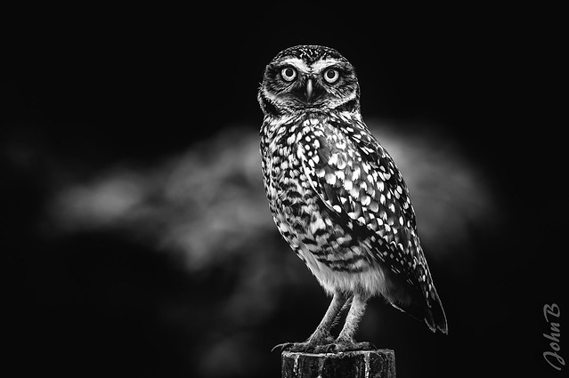 Owl be watching you! BW