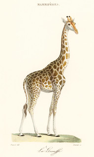 La Giraffe (1837) by Florent Prevos (1794-1870), an illustration of an adorable giraffe. Digitally enhanced from our own original plate.
