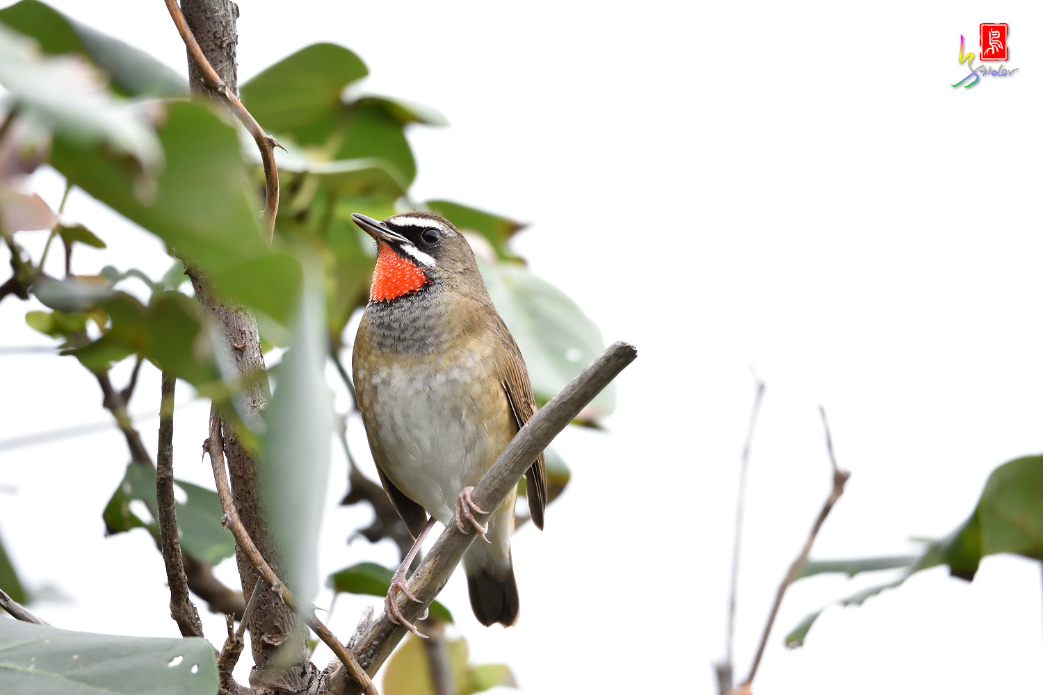 Rubythroat_6193