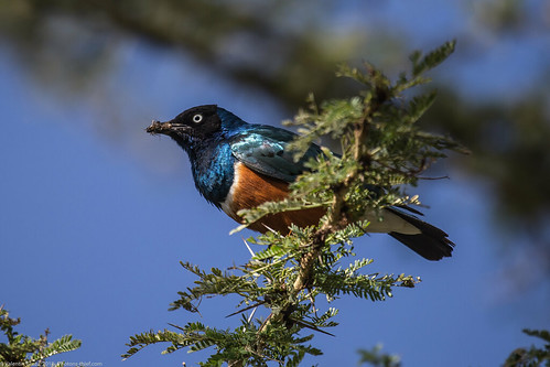 Lake_Naivasha_Kenya_sep18_09 starling | by Valentin Groza