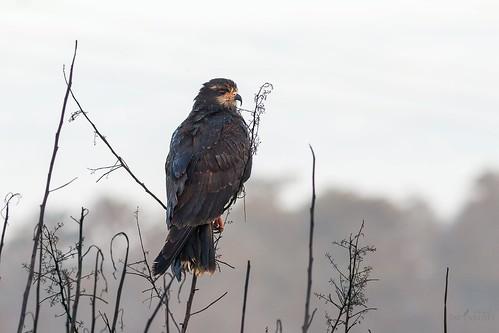 bird raptor snailkite rostrhamussociabilis cloudy sunrise arthurrmarshall loxahatchee nationalwildliferefuge boyntonbeach florida arm nwr armlnwr