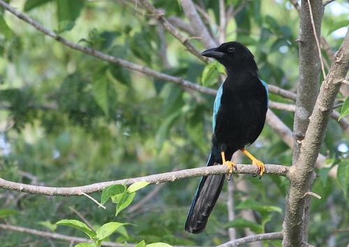 Geai du Yucatan Jay