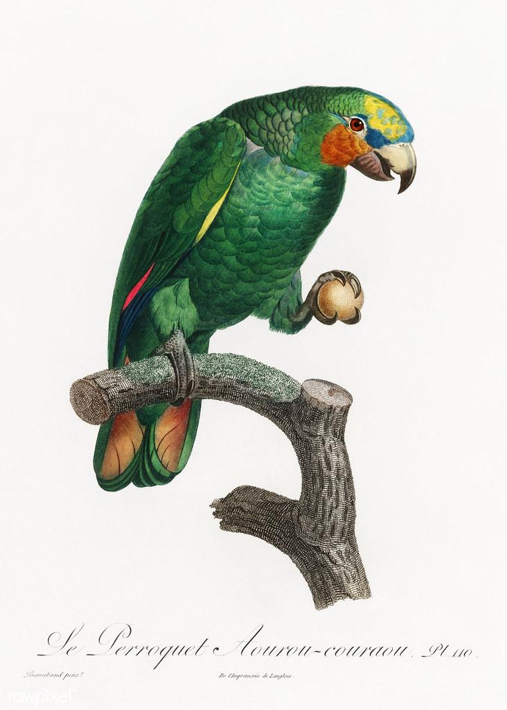Orange-winged parrot vintage poster