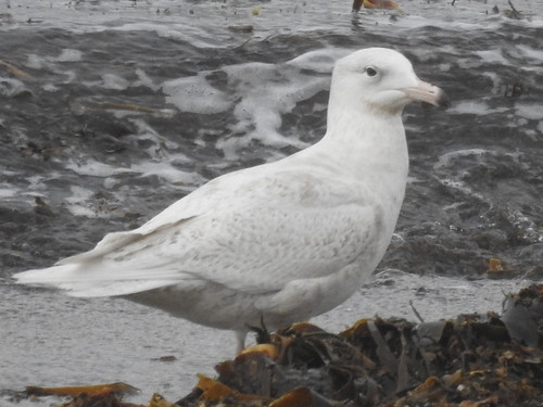 Glaucous Gull  (Larus hyperboreus)   1st-W - 2cy | by Brian Carruthers-Dublin-Eire