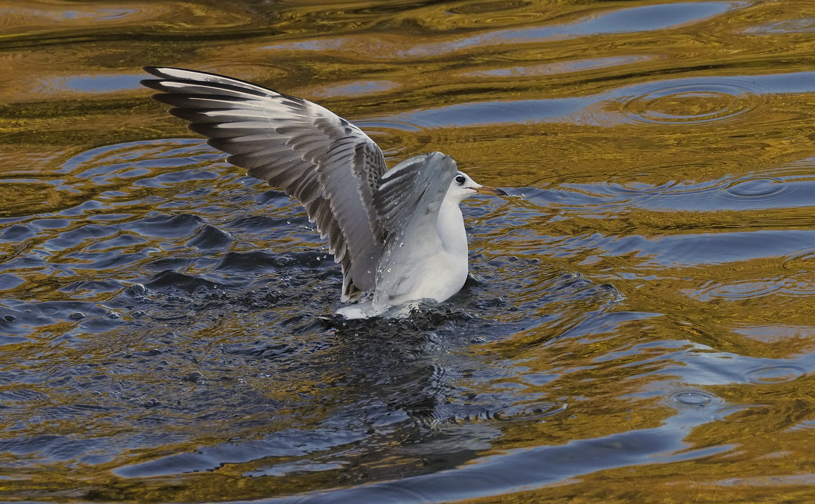 Black-headed Gull in Autumn lighting