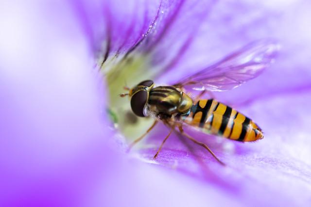 Marmalade hoverfly(lat. Episyrphus balteatus)