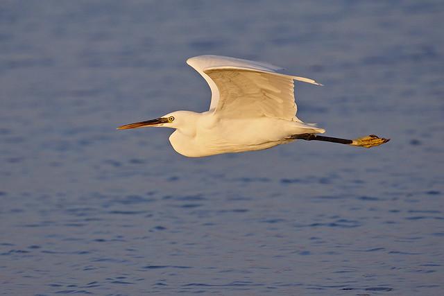 Reef Heron (white morph).