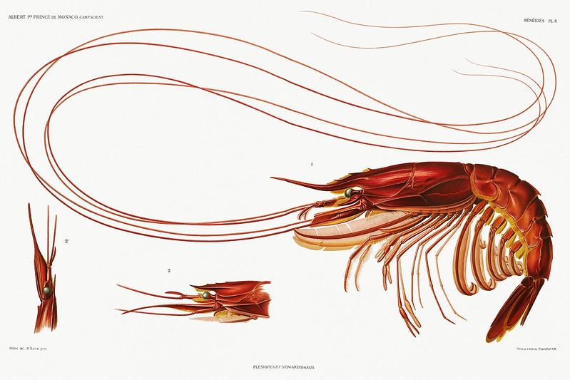 Shrimp vintage poster