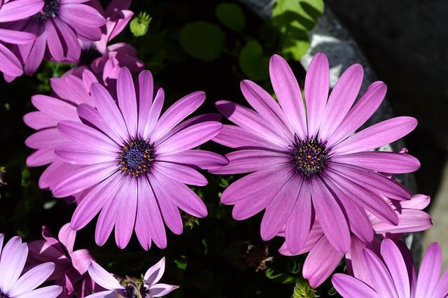 Cape Daisy (Osteospermum)