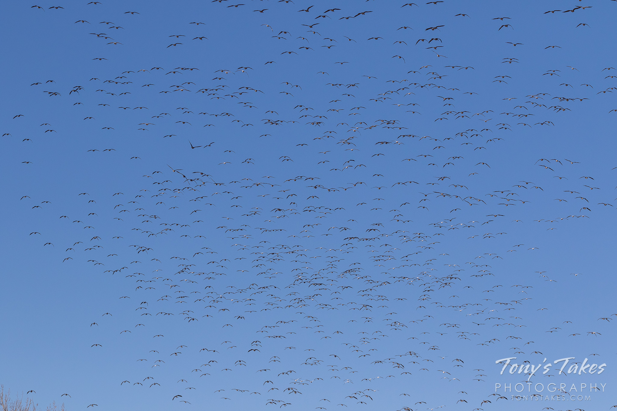 Thousands of geese fill the skies over Colorado's Barr Lake State Park. (© Tony's Takes)